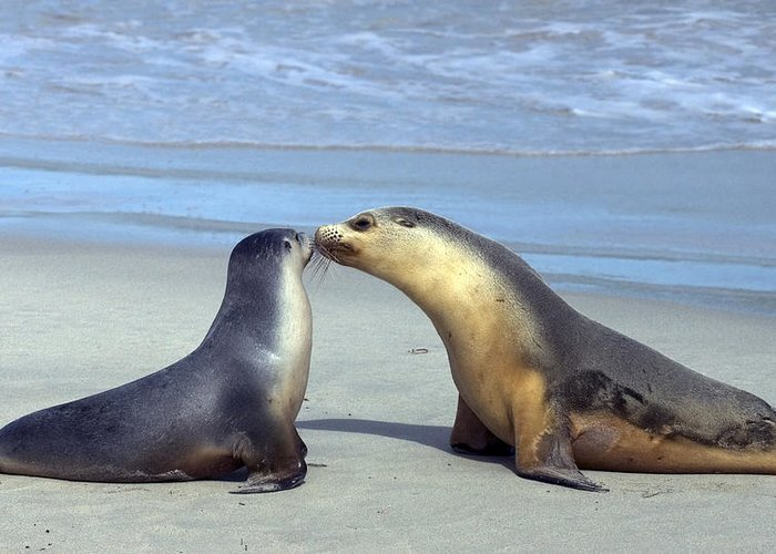 Sea Lion Greeting Card featuring the photograph A Mothers Love by Mike Dawson