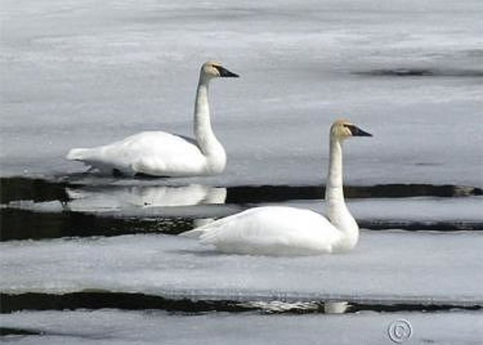 Swans Greeting Card featuring the photograph A Perfect Pair by Walter Graff