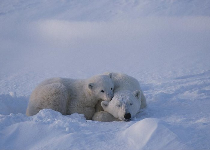 North America Greeting Card featuring the photograph A Polar Bear Cub Ursus Maritimus Rests by Tom Murphy