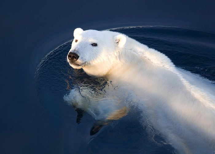 Outdoors Greeting Card featuring the photograph A Polar Bear Glance by Ira Meyer