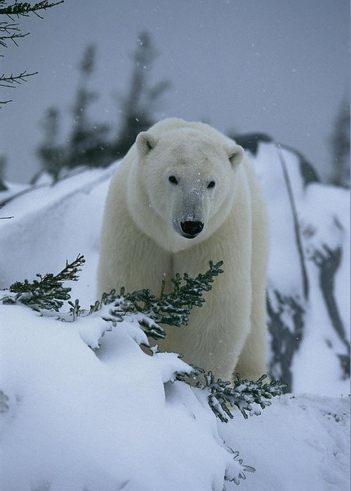 North America Greeting Card featuring the photograph A Polar Bear In A Snowy, Twilit by Norbert Rosing