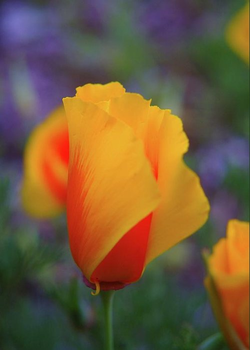 Poppies Greeting Card featuring the photograph A Poppy Furled by Jeff Swan