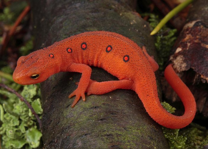 Maryland Greeting Card featuring the photograph A Red Eft Crawls On The Forest Floor by George Grall