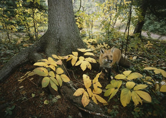 Animals Greeting Card featuring the photograph A Red Fox On Isle Royale In Lake by Annie Griffiths