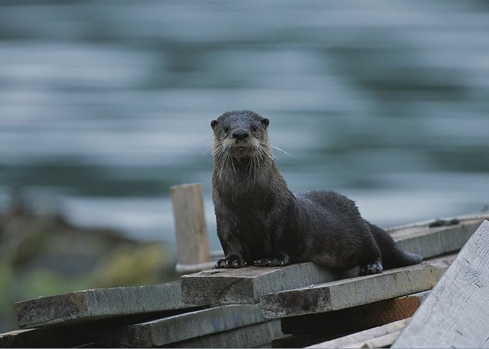 Subject Greeting Card featuring the photograph A River Otter Perched On Planks Of Wood by Joel Sartore