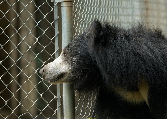 Photography Greeting Card featuring the photograph A Sloth Bear Melursus Ursinusat by Joel Sartore