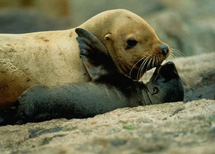 Lowrie Island Greeting Card featuring the photograph A Steller Sea Lion Cow Eumetopias by Joel Sartore