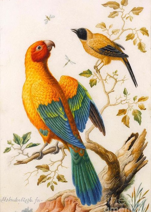 Herman Henstenburgh (hoorn 1667 - Hoorn 1726) Greeting Card featuring the painting A Sun Conure Parrot by MotionAge Designs