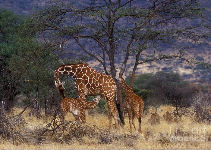 Giraffe Greeting Card featuring the photograph A Tender Moment by Sandra Bronstein