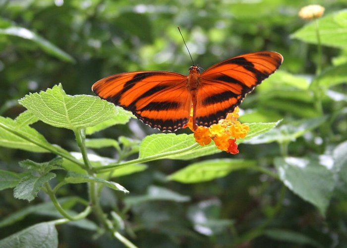 Bug Greeting Card featuring the photograph A Tiger Amongst The Petals by David Dunham