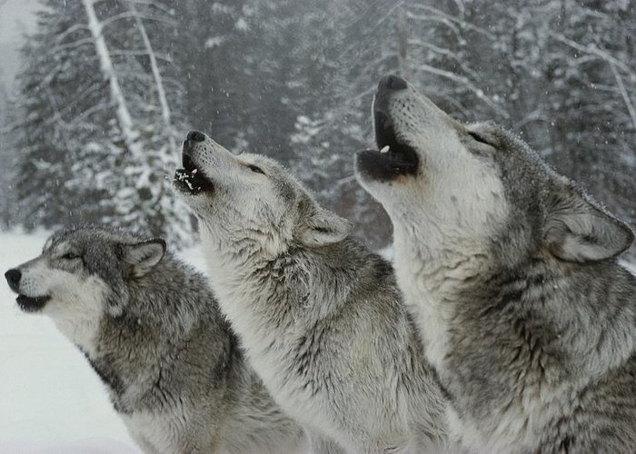 Subject Greeting Card featuring the photograph A Trio Of Gray Wolves, Canis Lupus by Jim And Jamie Dutcher
