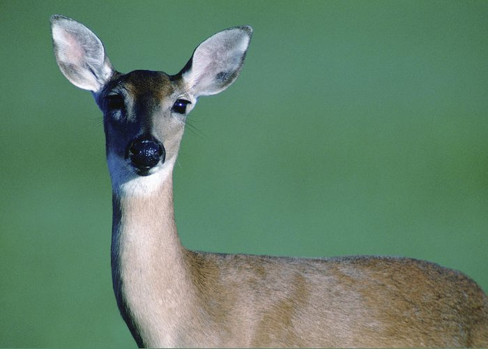White-tailed Deer Greeting Card featuring the photograph A White-tailed Deer On The Prairie by Joel Sartore