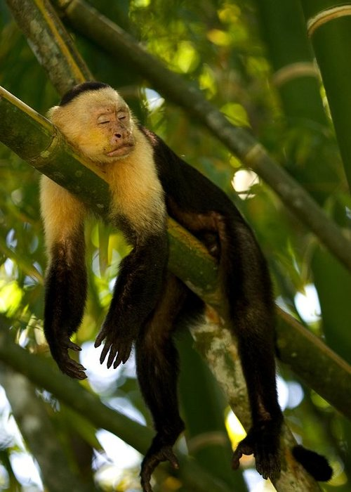 Central America Greeting Card featuring the photograph A White-throated Capuchin Monkey by Roy Toft