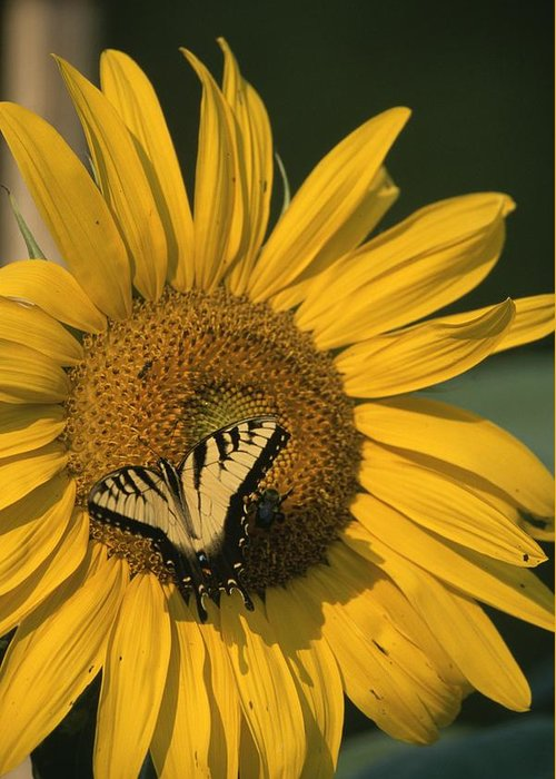 Animals Greeting Card featuring the photograph A Yellow Swallowtail by Taylor S. Kennedy