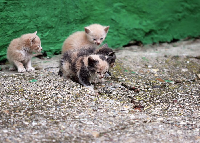 Cat Greeting Card featuring the photograph Abandoned Kittens On The Street by Goce Risteski