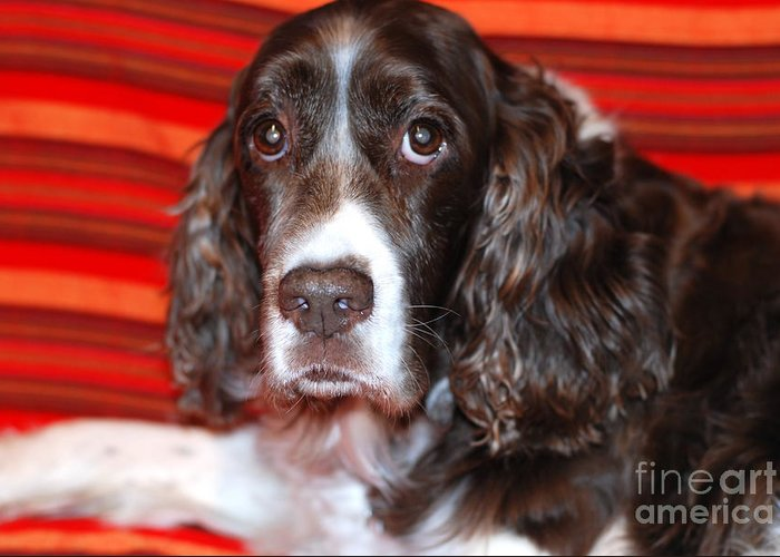 Springer Spaniel Greeting Card featuring the photograph Abby by Andrea Simon