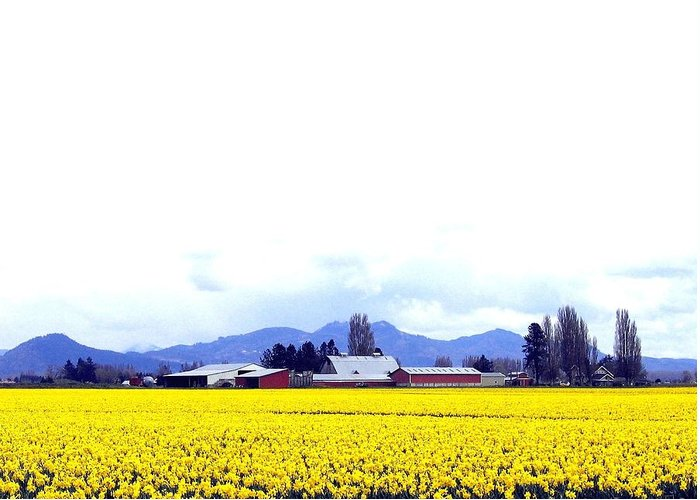 Agriculture Greeting Card featuring the photograph Acres Of Daffodils by Will Borden