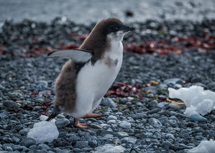 Antarctic Greeting Card featuring the photograph Adelie Penguin Chick Running Along Stony Beach by Ndp