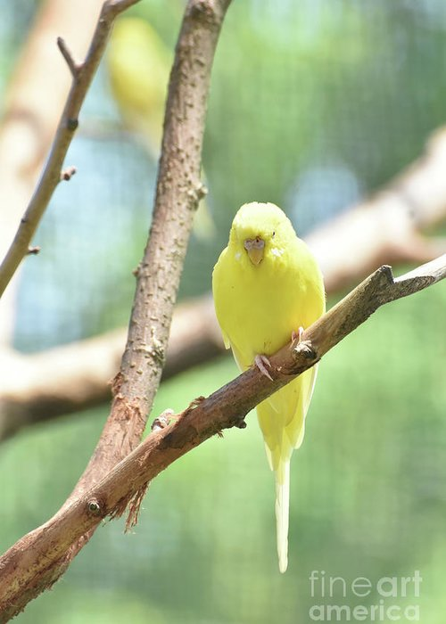 Budgie Greeting Card featuring the photograph Adorable Yellow Budgie Parakeet Relaxing In A Tree by DejaVu Designs