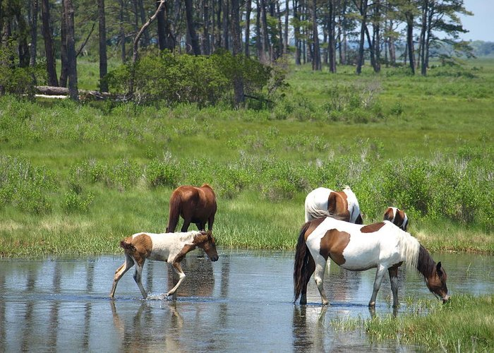 Chincoteague Greeting Card featuring the painting Adventure by Kim
