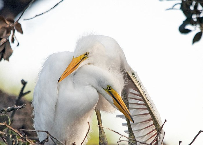 Egret Greeting Card featuring the photograph Affectionate Chicks by Kenneth Albin