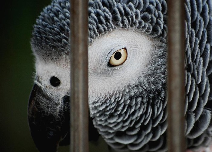 African Grey Greeting Card featuring the photograph African Grey by Robert Meanor