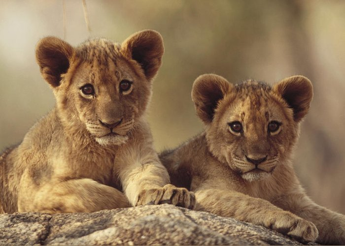 00171961 Greeting Card featuring the photograph African Lion Cubs Resting On A Rock by Tim Fitzharris