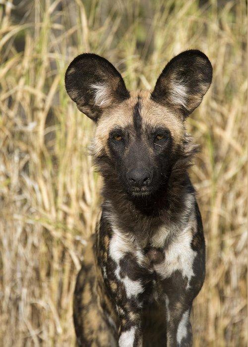 00426044 Greeting Card featuring the photograph African Wild Dog Okavango Delta Botswana by Suzi Eszterhas