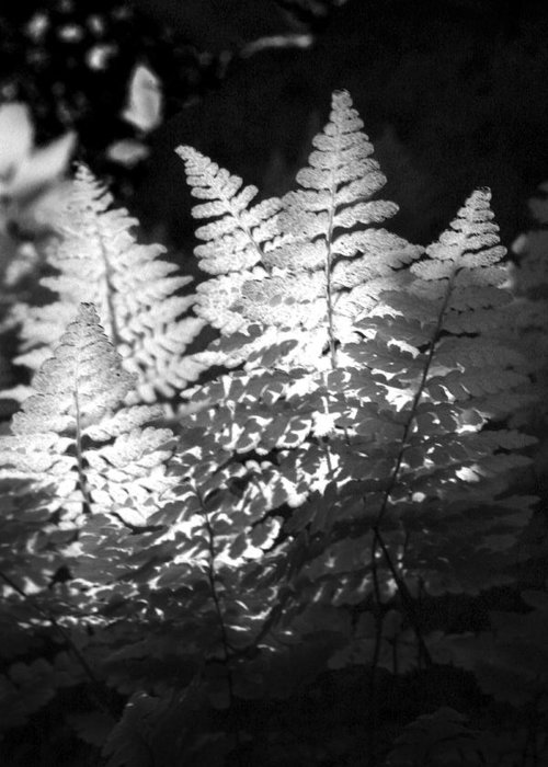 Fern Greeting Card featuring the photograph After Glow by Randy Oberg