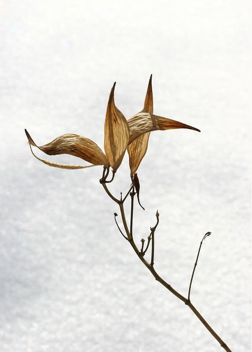 Flower Greeting Card featuring the photograph After Setting Seed by Steve Augustin