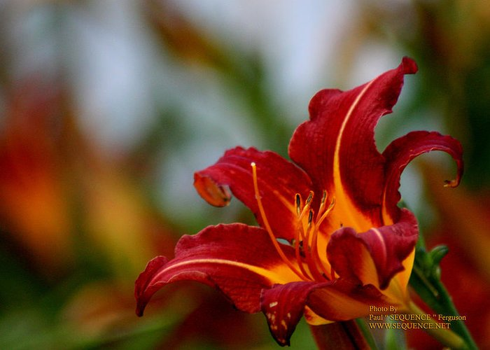 Flower Greeting Card featuring the photograph After The Rain Came The Flowers by Y C
