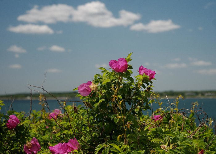 Beach Rose Greeting Card featuring the photograph Against The Sky by Barry Doherty