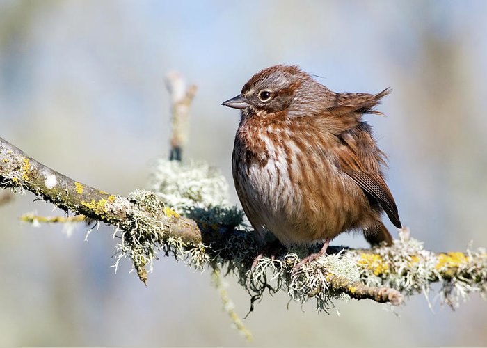 Song Sparrow Greeting Card featuring the photograph Against The Wind by Randall Ingalls
