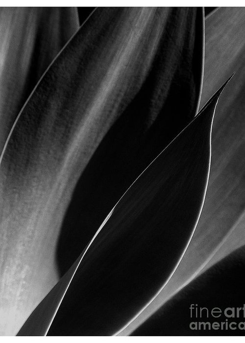 Agave Greeting Card featuring the photograph Agave by Elizabeth McPhee