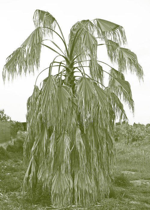 Palm. Palm Tree Greeting Card featuring the photograph Aged And Neglected by Ingrid Dance