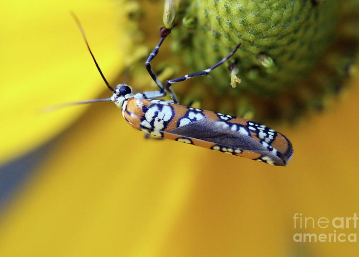 Moth Greeting Card featuring the photograph Ailanthus Webworm Moth by Karen Adams