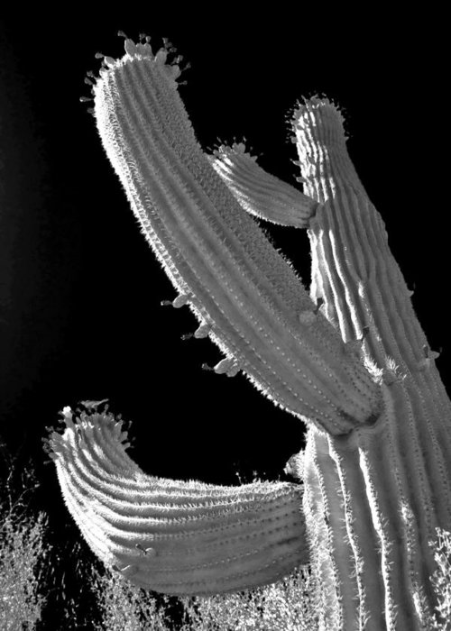 Saguaro Cactus Greeting Card featuring the photograph Ain't No Saguaro In Texas by Christine Till