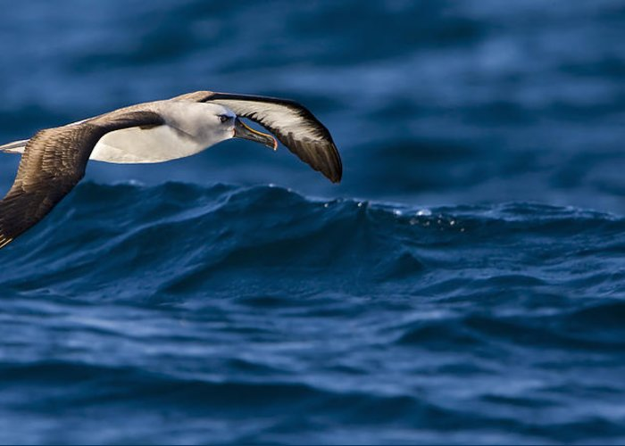 Seabirds Greeting Card featuring the photograph Albatross Of The Deep Blue by Basie Van Zyl