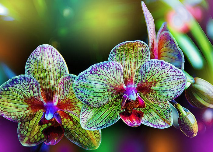 Orchids Greeting Card featuring the photograph Alien Orchids by Bill Tiepelman