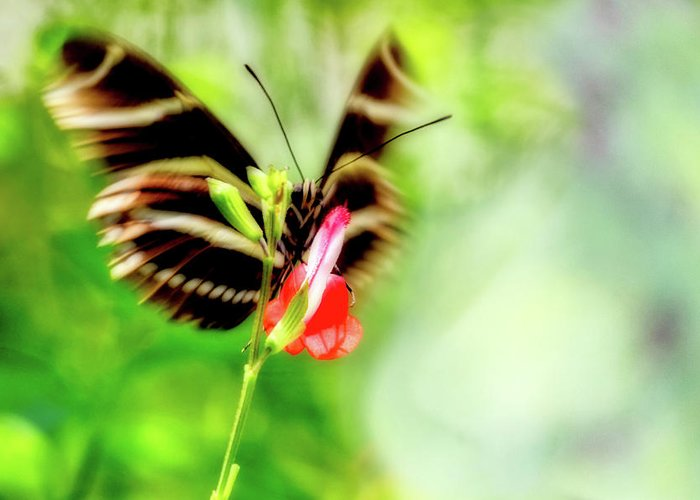 Butterfly Greeting Card featuring the photograph All A-flutter by Ches Black