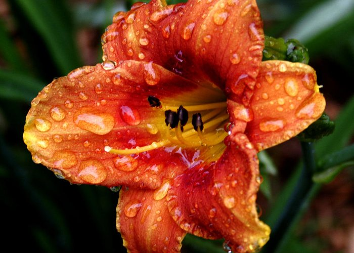 Lily Greeting Card featuring the photograph All Wet Lily by Paul Anderson