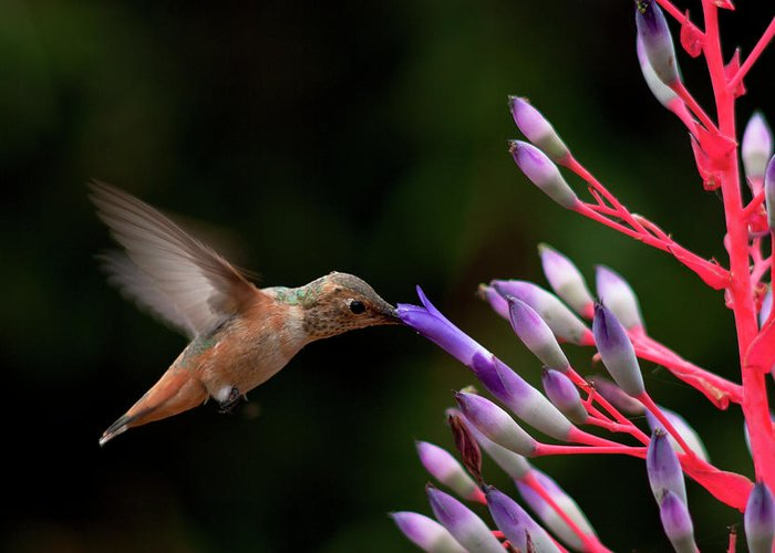 Allen's Hummingbird Greeting Card featuring the photograph Allen's Hummingbird At Breakfast by Mike Herdering