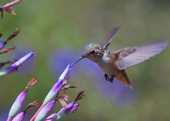 Allen's Hummingbird Greeting Card featuring the photograph Allen's Hummingbird by Mike Herdering