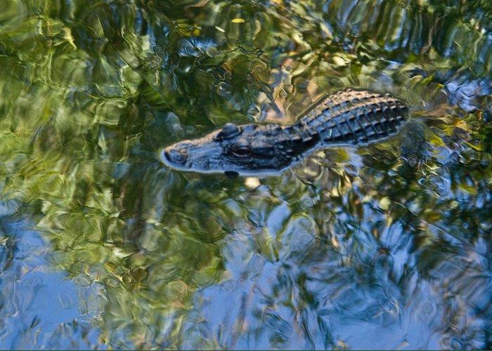 Alligator Greeting Card featuring the photograph Alligator Stalking by Douglas Barnett