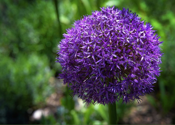 Flower Greeting Card featuring the photograph Allium Gladiator Closeup by Donna Martinez