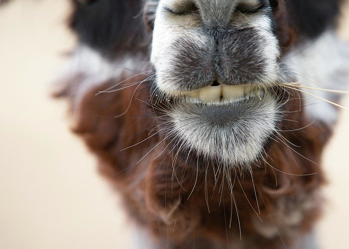 Alpaca Greeting Cards