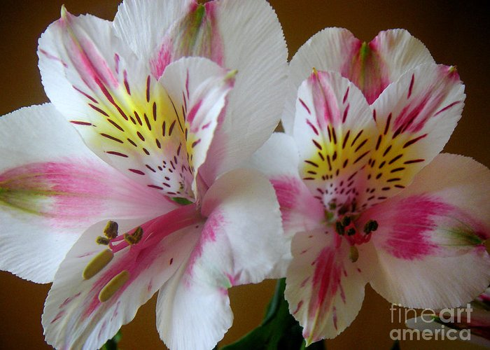 Nature Greeting Card featuring the photograph Alstroemerias - Heralding by Lucyna A M Green