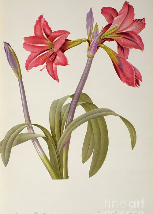 Amaryllis Greeting Card featuring the drawing Amaryllis Brasiliensis by Pierre Redoute