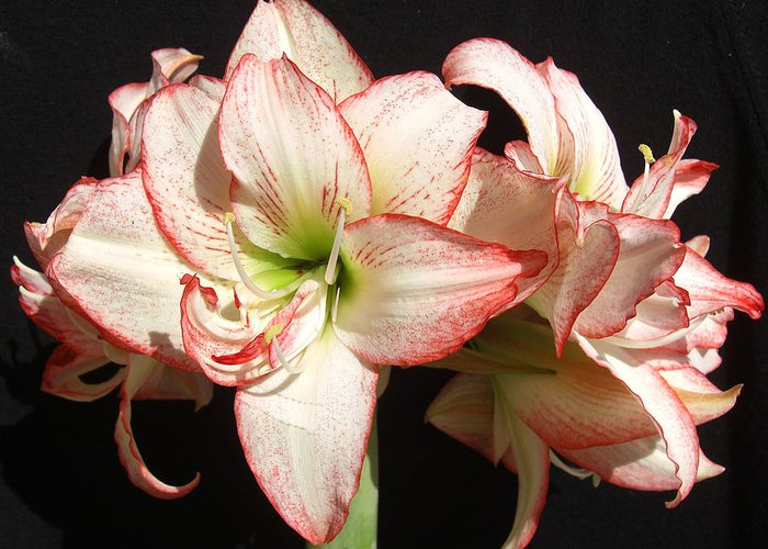 Floral Greeting Card featuring the photograph Amaryllis Group by Frederic Kohli