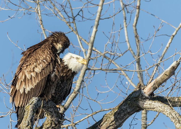 American Bald Eagles Greeting Card featuring the photograph American Bald Eagle 2017-19 by Thomas Young